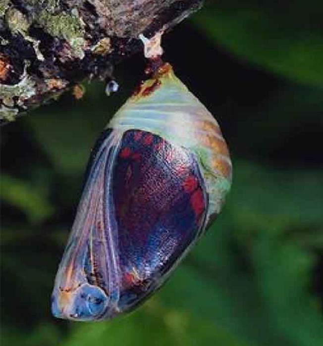 vlinder in ontwikkeling