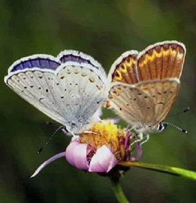De ontwikkeling van een Vlinder